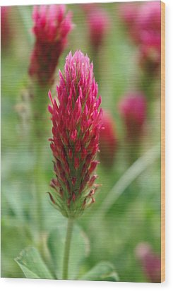 Crimson Clover Wood Print