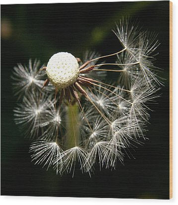 Dandelion Wood Print by Ralph A  Ledergerber-Photography