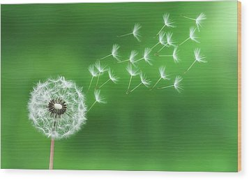 Dandelion Seeds Wood Print by Bess Hamiti