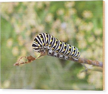 Eastern Black Swallowtail Caterpillar  Wood Print