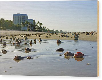 Fighting Conchs On The Beach In Naples, Fl Wood Print by Robb Stan