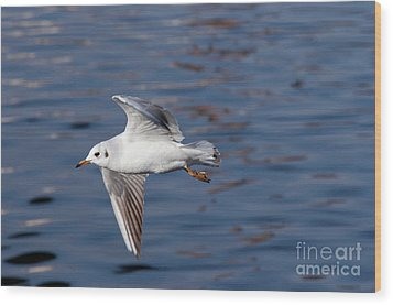 Flying Gull Above Water Wood Print by Michal Boubin
