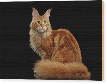Ginger Maine Coon Cat Isolated On Black Background Wood Print