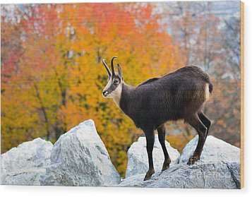 Goat In The Austrian Alps Wood Print by Andre Goncalves