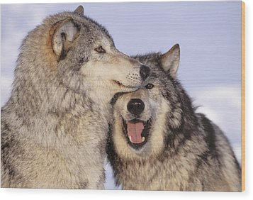 Gray Wolves Wood Print by John Hyde - Printscapes
