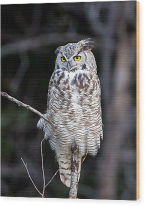 Great Horned Owl  Wood Print by Jack Bell