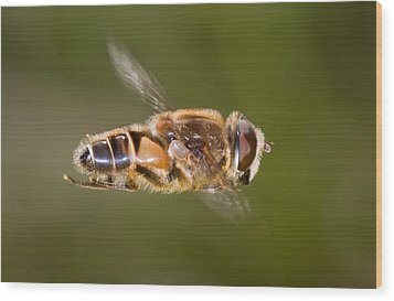Hoverfly In Flight Wood Print