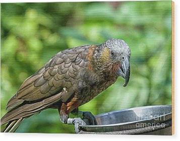Wood Print featuring the photograph Kaka by Patricia Hofmeester