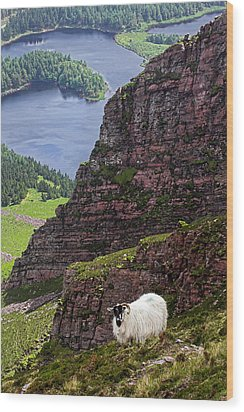 Kerry Mountain Sheep Ireland Wood Print by Pierre Leclerc Photography