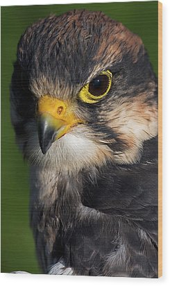 Lanner Falcon Wood Print by JT Lewis