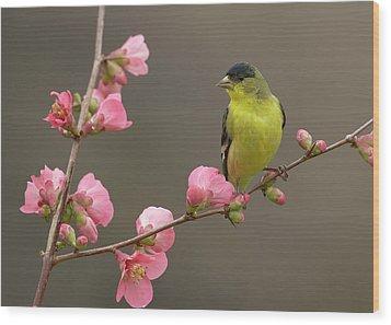 Lesser Goldfinch Wood Print by Doug Herr