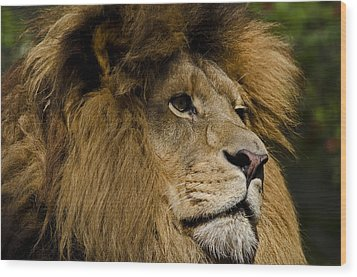 Lion Gaze Wood Print