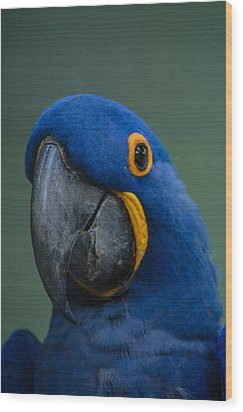 Macaw Wood Print by Daniel Precht