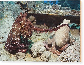 Mating Pair Of Day Octopuses Wood Print by Georgette Douwma