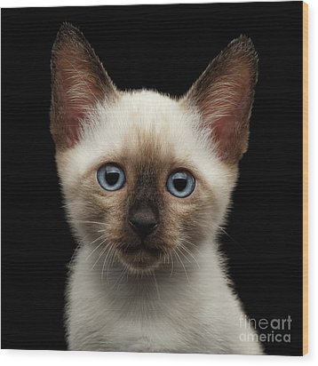 Mekong Bobtail Kitty With Blue Eyes On Isolated Black Background Wood Print by Sergey Taran