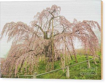 Wood Print featuring the photograph Miharu Takizakura Weeping Cherry02 by Tatsuya Atarashi