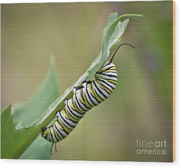 Wood Print featuring the photograph Monarch Caterpillar by Kerri Farley