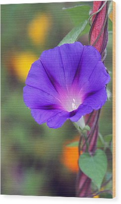 Wood Print featuring the photograph Morning Glory by Vadim Levin