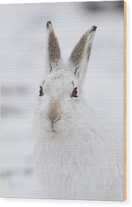Mountain Hare In The Snow - Lepus Timidus  #1 Wood Print