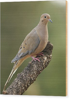 Mourning Dove Wood Print by Doug Herr