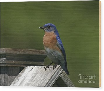 Mr Blue Bird Wood Print by Robert Pearson