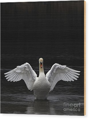 Mute Swan Stretching It's Wings Wood Print by Urban Shooters