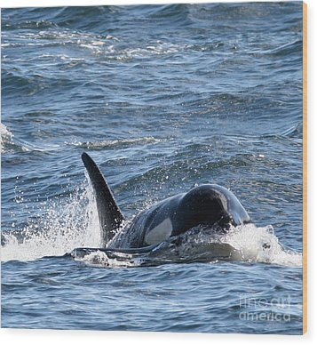 Orca Whales In The San Juan Islands Wood Print by Sandy Buckley