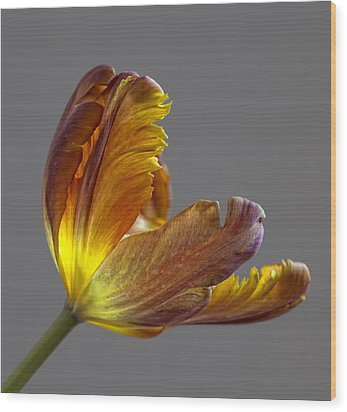 Parrot Tulip 21 Wood Print by Robert Ullmann