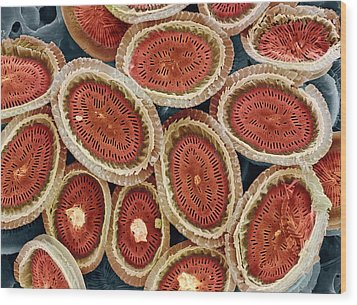 Plankton Cell Wall, Sem Wood Print by Steve Gschmeissner