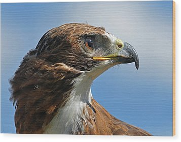 Red-tailed Hawk Wood Print by Alan Lenk