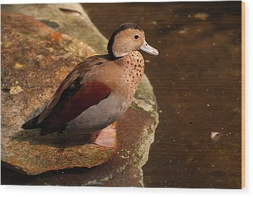 Ringed Teal On A Rock Wood Print by Chris Flees