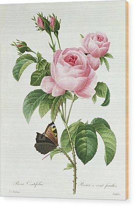 Rosa Centifolia Wood Print