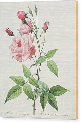 Rosa Indica Vulgaris Wood Print by Pierre Joseph Redoute