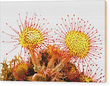 Wood Print featuring the photograph Round-leaved Sundew Drosera Rotundifolia by Gabor Pozsgai