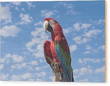 Scarlet Macaw Wood Print by Kim Hojnacki