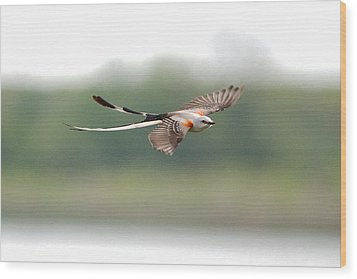 Scissor-tailed Flycatcher In Flight Wood Print