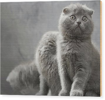 Scottish Fold Cats Wood Print by Evgeniy Lankin