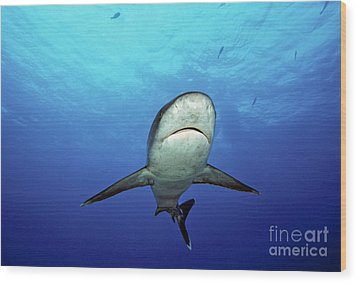 Silvertip Shark Wood Print by Dave Fleetham - Printscapes