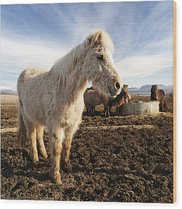 Smiling Icelandic Horse Wood Print by Francesco Emanuele Carucci