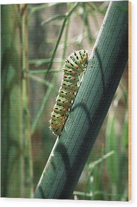 Swallowtail Caterpillar Wood Print by Meir Ezrachi