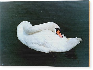 Swan At Rest  Wood Print by Richard Mansfield