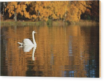 Swan On A Lake Wood Print