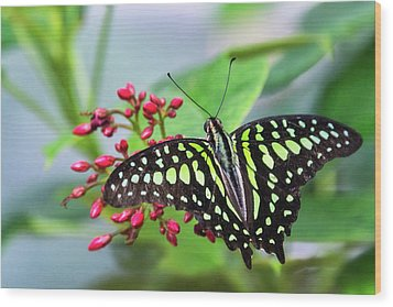 Wood Print featuring the photograph Tailed Green Jay Butterfly  by Saija Lehtonen