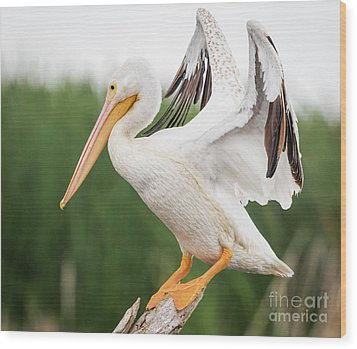 Wood Print featuring the photograph The Amazing American White Pelican  by Ricky L Jones