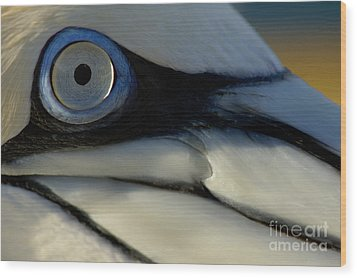 The Eye Of A Northern Gannet Wood Print by Sami Sarkis