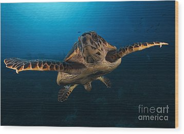 The Hawksbill Sea Turtle, Bonaire Wood Print by Terry Moore