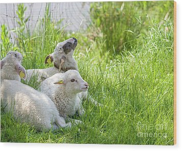 Wood Print featuring the photograph Three Little Lambs by Patricia Hofmeester