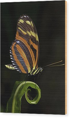 Tiger Longwing Wood Print