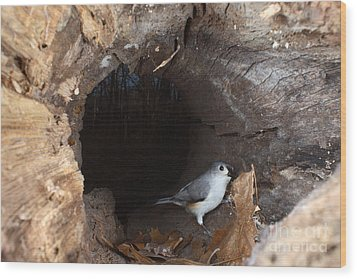 Tufted Titmouse In A Log Wood Print by Ted Kinsman