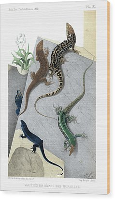 Wood Print featuring the drawing Varieties Of Wall Lizard by Jacques von Bedriaga